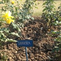 Waka waka - Shakira rose - Chandigargh