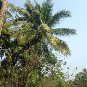 Palmiers encore et toujours / Backwaters / Kerala