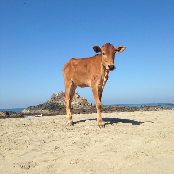 Baby Cow - Vagator - Goa Nord